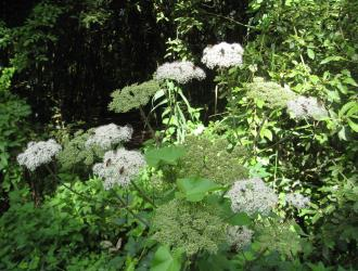 Common Hogweed Cow Parsnip Aug 2012
